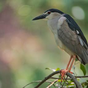 Black-capped Night Heron by Foo Fok - Animals Birds