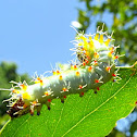 Emperor gum moth larva