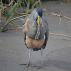 Bare-throated Tiger Heron