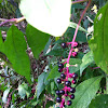 Pokeweed, pokeberry