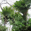 Giant Staghorn Ferns (epiphyte)