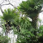 Giant Staghorn Ferns (epiphyte)