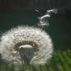 Dandelion Blow Flower