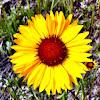 Wild Gaillardia or Brown-Eyed Susan