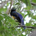 Black-headed Trogon (male)