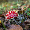 Amanite tue-mouches  - Fly Agaric