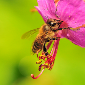 macro bee by Anna Trandeva - Animals Insects & Spiders ( macro, bee, pink, close up )