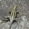 African blue-tailed skink