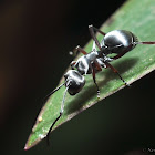 silver ant
