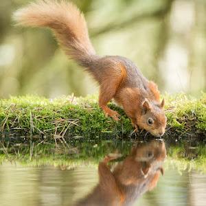 Red_Squirrel_Drinking.jpg