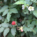 West Indian Raspberry