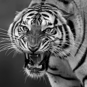by Charliemagne Unggay - Black & White Animals ( black and white, animal,  )