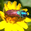 Jewel beetles. Escarabajo joya