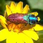 Jewel beetles. Escarabajo joya