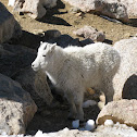 Mountain Goat Juvenile