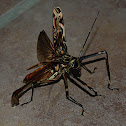 Large Harlequin Beetle