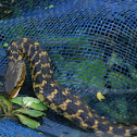 chequered keelback