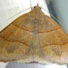 Early Fan Foot Moth