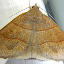 Early Fan Foot Moth