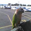 green cheeked conure or green cheeked parakeet