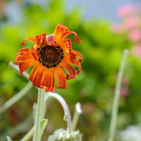 Orange in Green by Ricardo Rocha - Flowers Single Flower ( wild, nature, single flower, flower, , summer, sunflowers, flowers, yellow, garden, seeds )