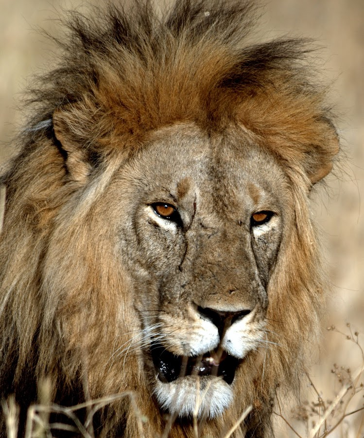 I AM THE KING by Subrata Barick - Animals Lions, Tigers & Big Cats