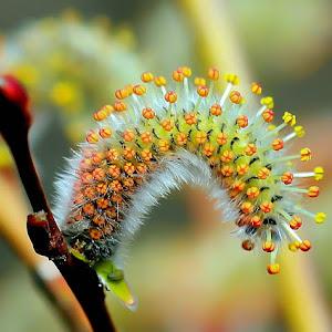 cvet rdeče vrbe.jpg