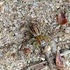 Dimorphic Jumper, female