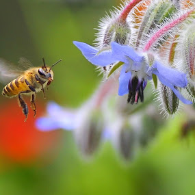 Honey Bee and Borago officinalis by Leka Huie - Flowers Flower Gardens (  )