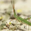 mediterranean slant-faced grasshopper