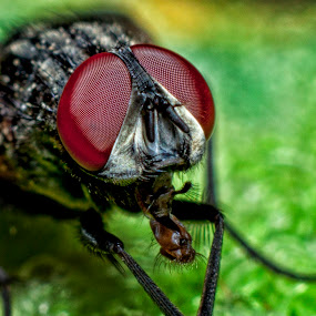 flies tongue by Septyan Lestariningrum - Animals Insects & Spiders ( macro, nature, fly, insect, animal )