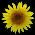 Sunflower LW + weather logo