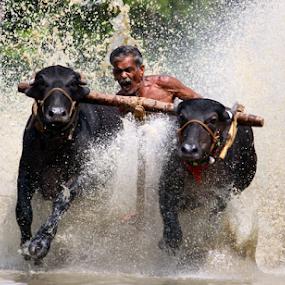 cattle race by Ramesh Kallampilly - News & Events Sports ( adventure, sports, bullrace, kerala, cattlerace )