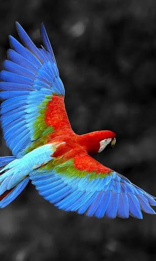 Talking Parrot Live Wallpaper