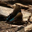 Narrow Green Banded Swallowtail