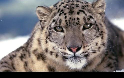豹動態桌布