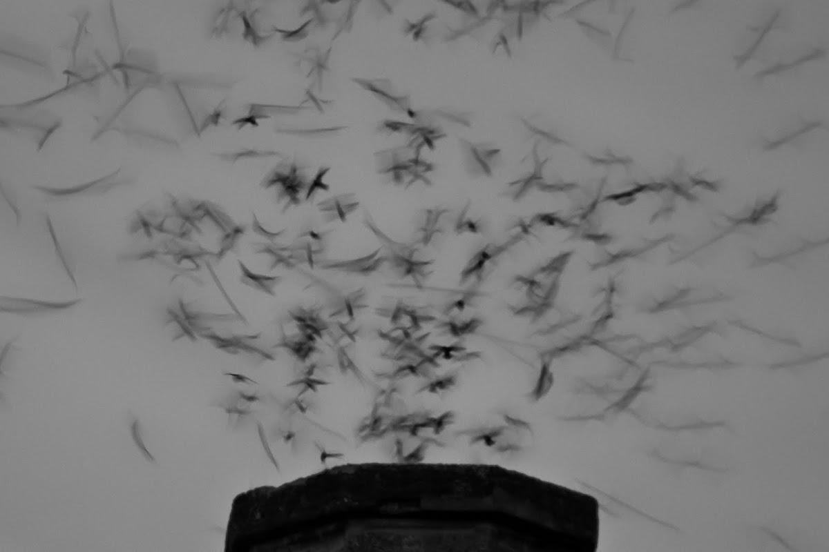 Vaux's Swifts