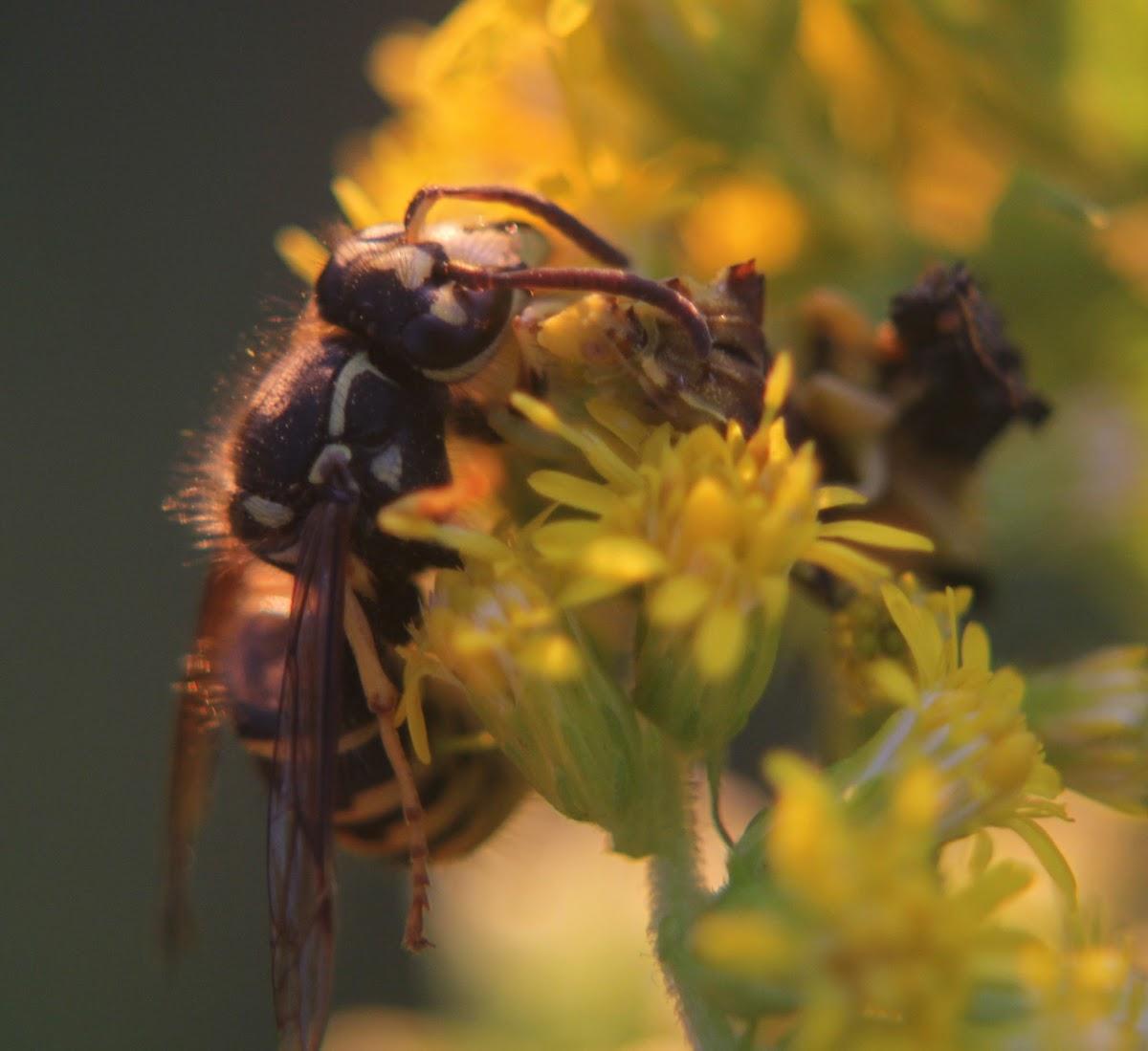 Pennsylvania Ambush Bug with prey (Yellowjacket)
