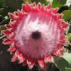 Queen Protea Blossoms