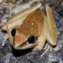Tawny Rocket Frog