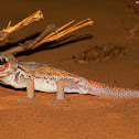 Common wonder gecko