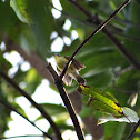 Golden-bellied Flyeater (Local name: Pipit-bakaw)