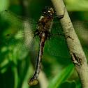 Beaver Pond Baskettail - female -