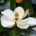 Southern Magnolia or Bull Bay