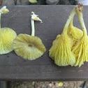 yellow Gerronema mushroom
