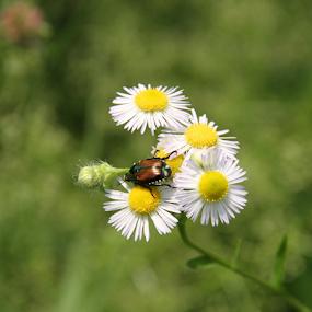 Daisy's and a Bug by Marsha Biller - Flowers Flowers in the Wild ( wild, bug, daisy, four, flower, Spring, springtime, outdoors,  )