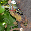 Coppersmith Barbet, Crimson-breasted Barbet