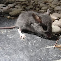 Unknown Mouse