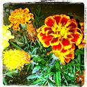 Tagetes (Studentenblume)