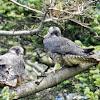 Peregrine Falcon - Fledglings